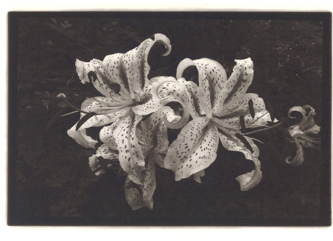 TIGER LILIES OF THE ISLAND/ 2015/ Carbon print/ 20.0×30.2㎝